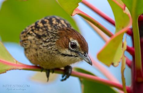 Cape grassbird2