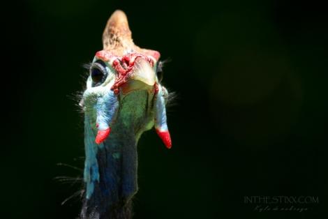Guinea fowl2