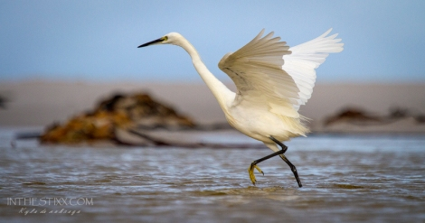 Little egret2
