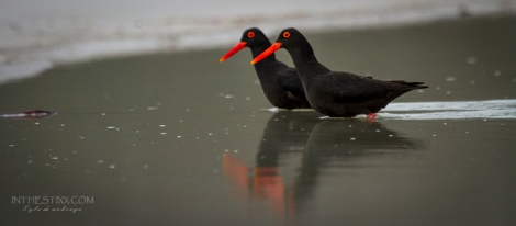 Oystercatcher reflections