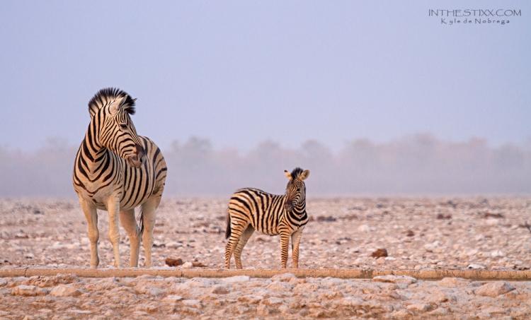etosha zebra 2