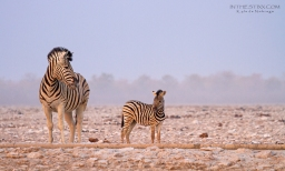 Etosha mother and foal