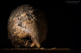 Pangolin by night