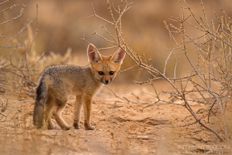 cape fox pup