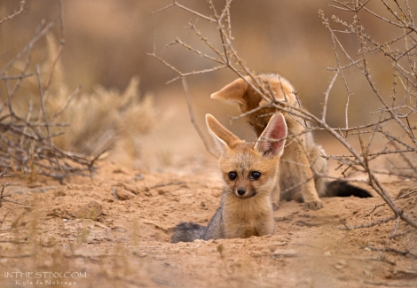 cape fox pups