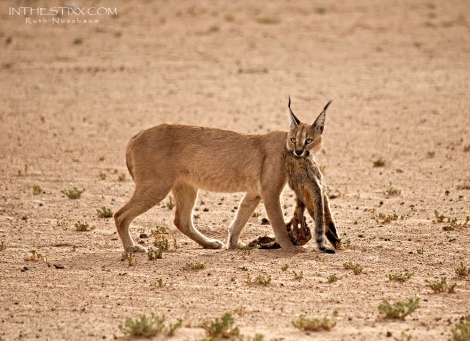 caracal with wildcat bamba