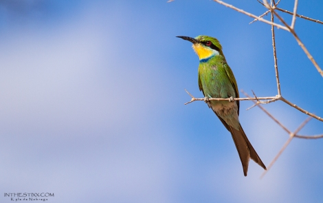 swallowtailed bee eater